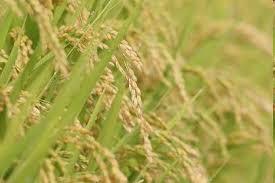 Chiết xuất mầm gạo
